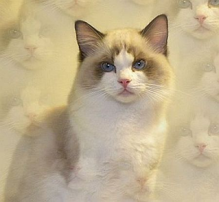 Ragdoll Kittens For Sale In Florida - Best Cat And Kitten